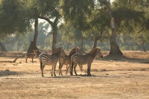 Goliath, Mana Pools, Zebra
