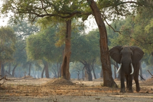 Goliath, Mana Pools, Elephant