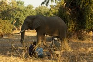 Goliath, Mana Pools, Stretch and elephants