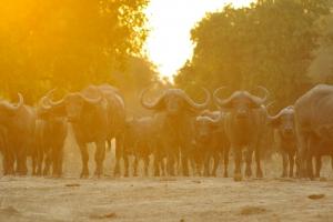 Goliath, Mana Pools, Buffalo Sunrise